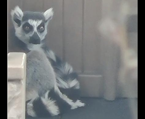 San Francisco Zoo's missing lemur found on school playground