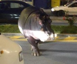 Hippo Houdini gives circus the slip, wanders streets of Spanish city