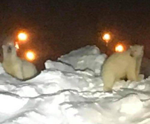 Polar bears scamper across runway at Alaskan airport