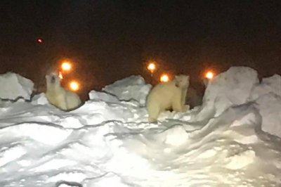 Polar bears scamper across runway at Alaskan airport