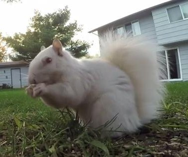 Albino squirrel visits Minneapolis bird feeder