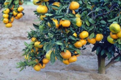 Florida growers back bill to forbid Chinese citrus imports