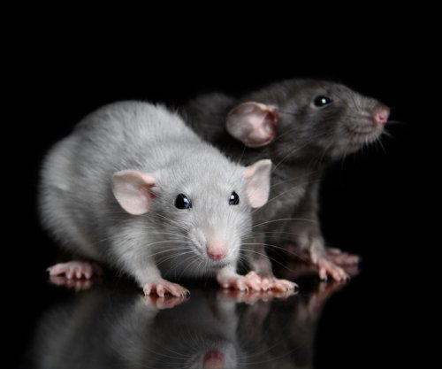 Sound influences the way mice and rats sense touch