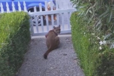 Watch: Man confronts mountain lion outside California home