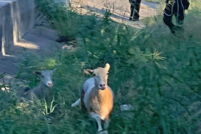 Escaped sheep lead Texas officers on highway foot chase