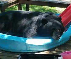 Minnesota bear cools off in resident's backyard kiddie pool