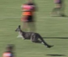 Kangaroo interrupts rugby game in Australia