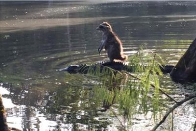 Raccoon rides alligator in photo from Florida's Ocala National Forest