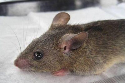 Vaccine effectively protects against Lassa fever, rabies