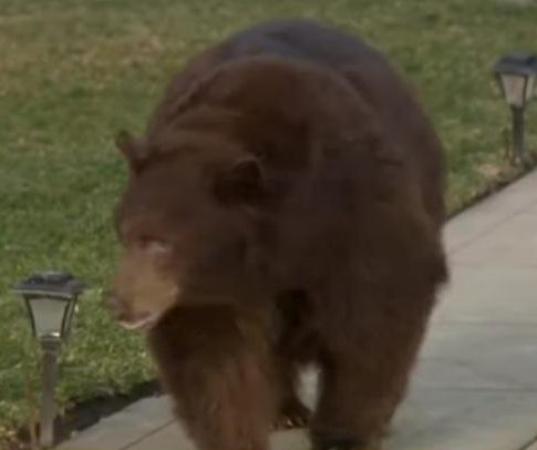Bear relocated after wandering suburb for two days