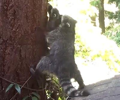 Washington state raccoon teaches cub to climb a tree