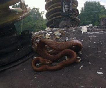 Snake sizzles, knocks out power to 22,000 in Florida
