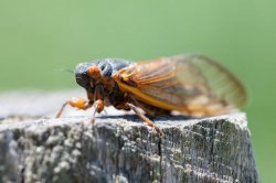 UPI News Quiz: Brood X cicadas, MTA hack, Trump's blog
