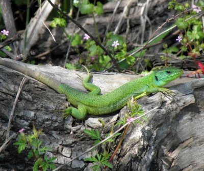 Study: Island lizards have resilient stomachs
