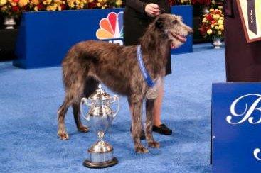 Scottish Deerhound Claire wins the National Dog Show