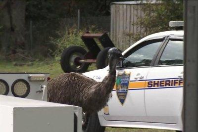 Loose emu leads authorities on chase through Florida neighborhoods