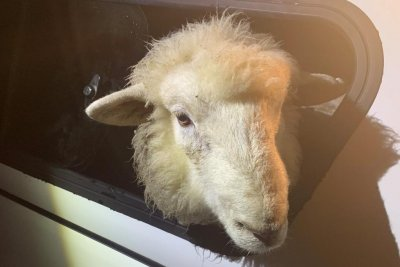 Ram on the lam after escape from New Zealand animal shelter