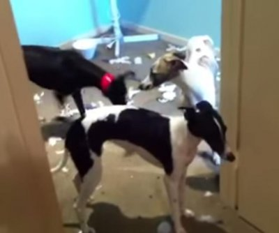 Trio of 'cheeky' whippets destroy owner's new bed