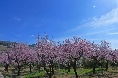 Insecticides blamed for honeybee deaths in California almond groves