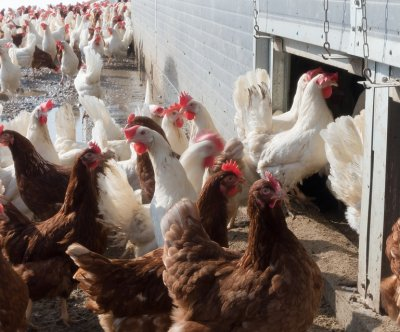 Livestock, poultry appear safe from COVID-19, expert says