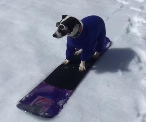 Jack Russell terrier shreds Nevada mountain on a snowboard