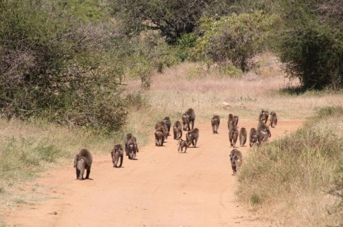 Fitbit-wearing baboons reveal price of social cohesion