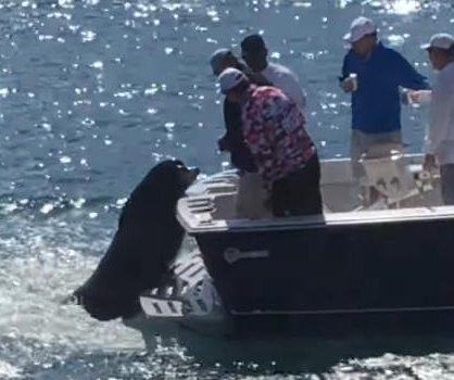 Sea lion hitches rides on backs of boats to beg for fish in Mexico