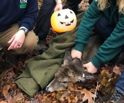 Deer rescued from plastic pumpkin predicament in New Jersey