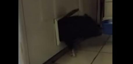 & Watch: Pig gets trapped in pet door squeals for help - UPI.com