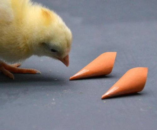Color vision helps chickens find food, mates
