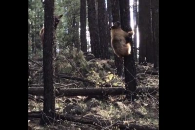 Mother elk kicks bear in the face to rescue her calf
