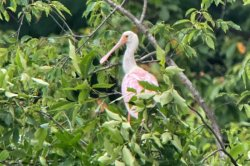 Roseate spoonbill spotted in Michigan for the first time