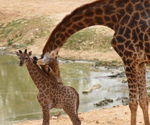 Study: Giraffes are socially complex, misunderstood