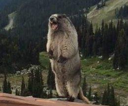 'Screaming' marmot shocks mountain visitors