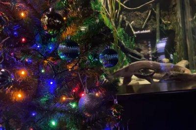 Electric eel lights Tennessee aquarium's Christmas tree