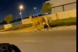 Watch:-Escaped-antelope-gallops-along-Israel-highway