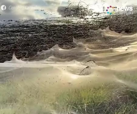 Cobwebs cover Australian towns after spiders flee flooding