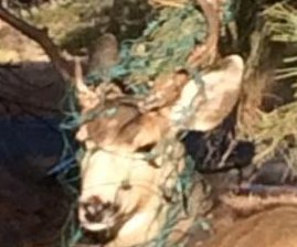 Colorado rescuers free festive deer with head, antlers wrapped in Christmas lights
