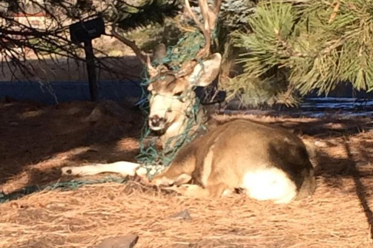 look deer decorated for the holidays gets help from animal control upicom