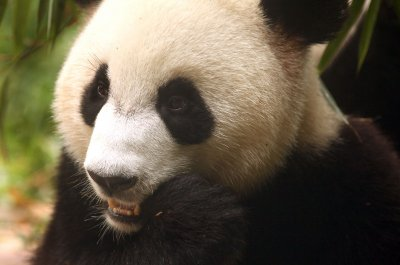 Panda at Scottish zoo said to be ill