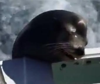 Sea lion jumps onto moving speedboat to beg for fish