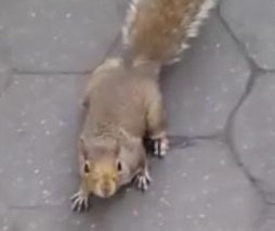 New York's human-hunting squirrels distract man for surprise attack