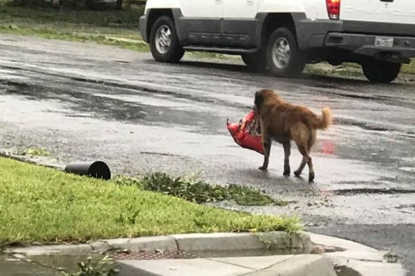 Texas Dog Walking Down Street With Food