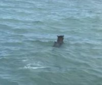 Florida police officer rescues coyote struggling to swim to shore