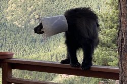 Bear with bucket stuck on head rescued after being chased up a tree