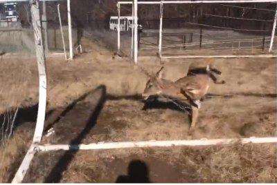 Animal rescuers cut deer free from soccer net