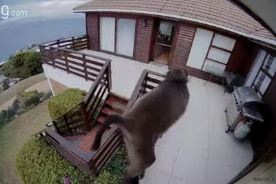 Baboon's attempted burglary caught on home security camera