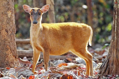 Roosevelt's barking deer spotted in Vietnam after 85-year absence