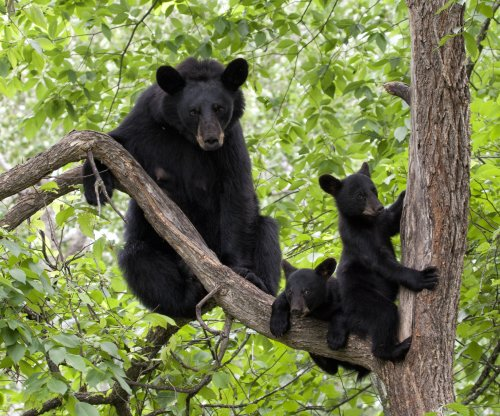 Chocolate overdose blamed for bear deaths