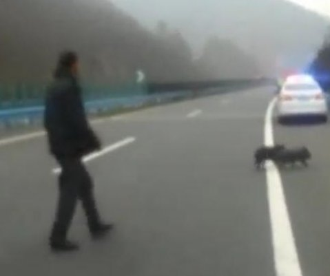 Truck driver chases escaped pigs around stretch of Chinese highway